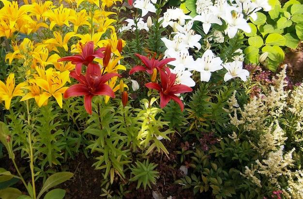 Fleurs rouges jaunes et blanches dans le jardin