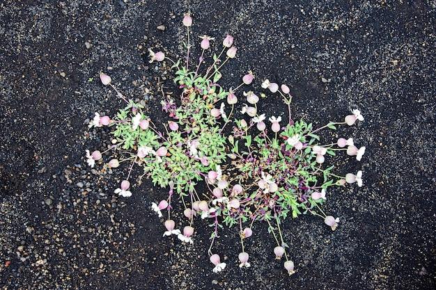 Fleurs sur sable volcanique noir en islande