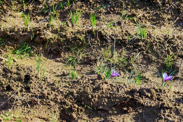 Fleurs de safran dans un champ au moment de la récolte