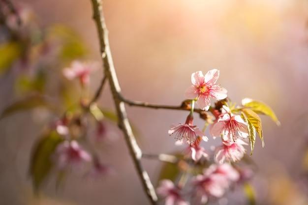 Fleurs de sakura en fleurs