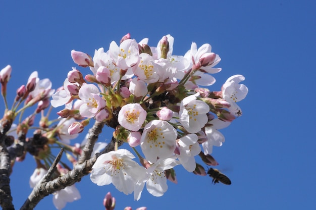 Fleurs de sakura japonaises blanches fleurissent