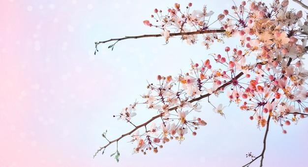 Fleurs sakura rose