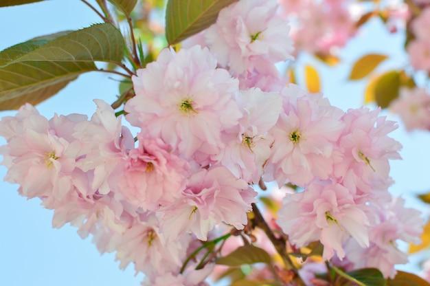 Fleurs sakura. sakura fleurissent. rose. concept de printemps.