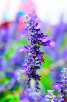 Fleurs de salvia en fleurs