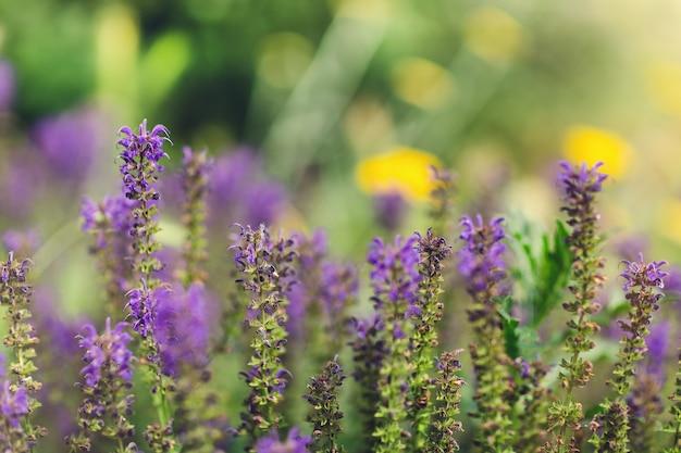 Fleurs de salvia officinalis bleu