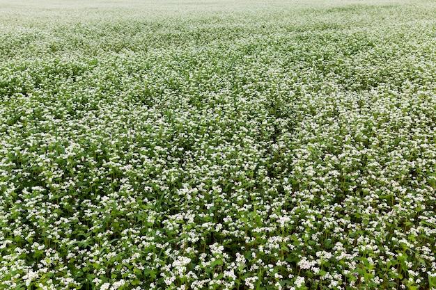 Fleurs de sarrasin blanc pendant la floraison dans un domaine agricole, agriculture avec la culture du sarrasin à fleurs blanches
