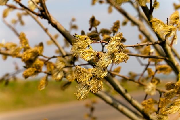 Fleurs de saule, photographié de près au printemps