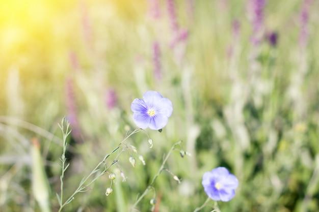 Fleurs sauvages bleues, printemps naturel beau fond, deux fleurs