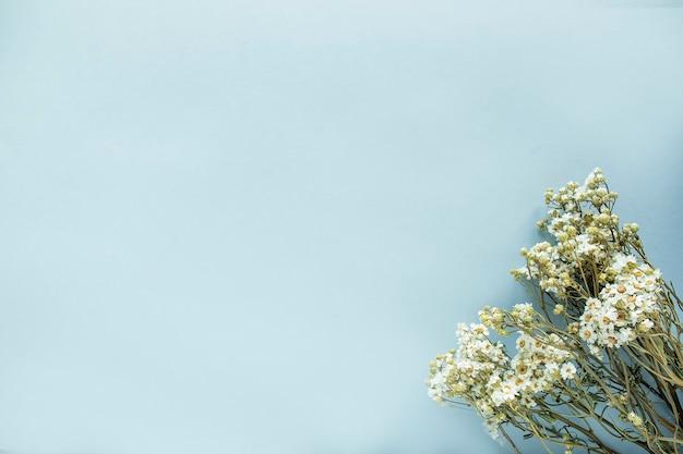 Fleurs sauvages de camomille séchées sur fond bleu. vue de dessus, espace de texte