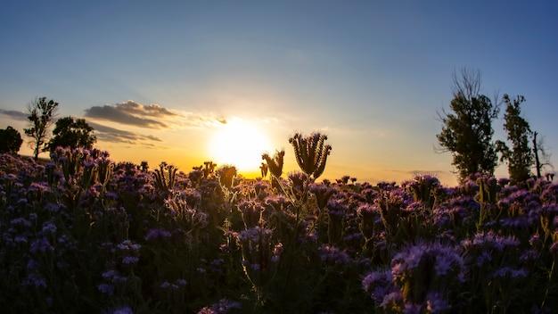Fleurs sauvages colorées dans la lumière du soleil du soir rétroéclairée. la nature de la botanique florale