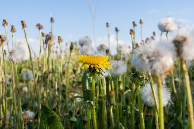 Fleurs sauvages d'été. un pissenlit jaune épanoui parmi de nombreux pissenlits blancs.