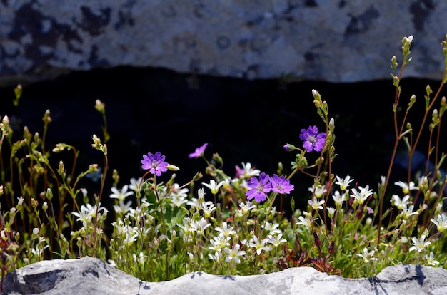 Fleurs sauvages: geranium sylvaticum et saxifraga trifurcata sur certains rochers de montagne