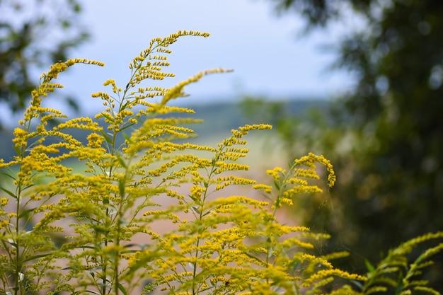Les fleurs sauvages jaune vif d'automne poussent sur le fond des prés