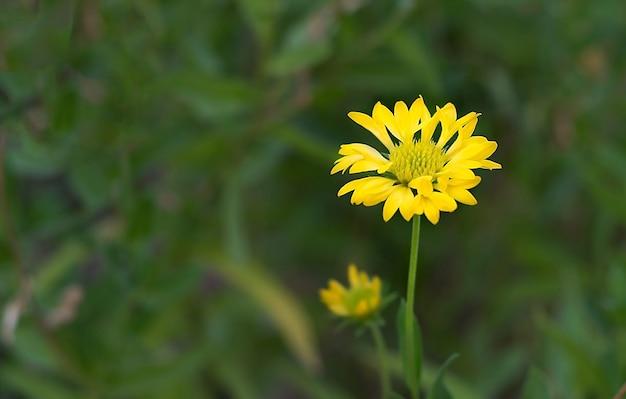 Fleurs sauvages jaunes floues sur un fond de nature verdoyante
