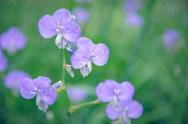 Fleurs sauvages pourpres nomme murdannia giganteum sur fond flou.