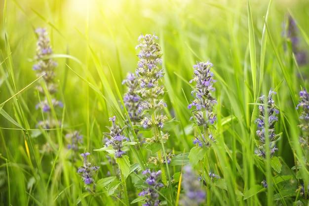 Fleurs sauvages pourpres sur le pré en été, avec une douce lumière du soleil