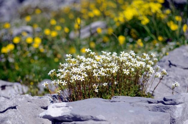 Fleurs sauvages: saxifraga trifurcata, une plante qui pousse dans les montagnes et les rochers