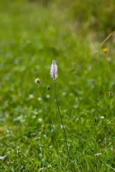 Fleurs sauvages sur le terrain d'été. fleur de plantago.