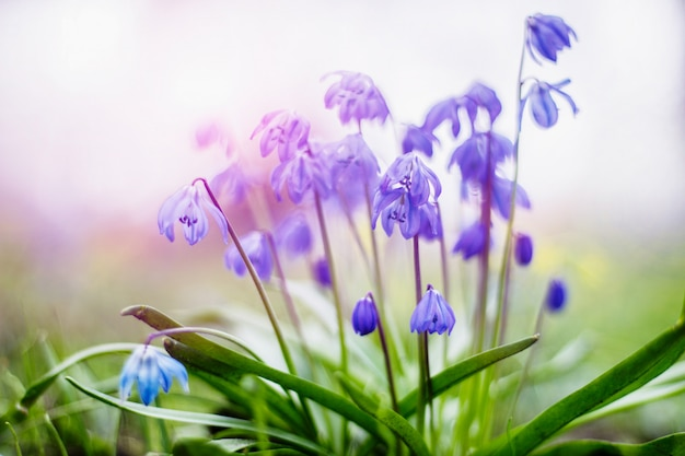 Fleurs de scilla bleues au début du printemps dans le jardin dans de douces couleurs pastel