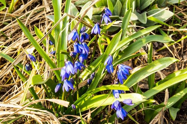 Les fleurs de scilla siberica fleurissent dans le jardin