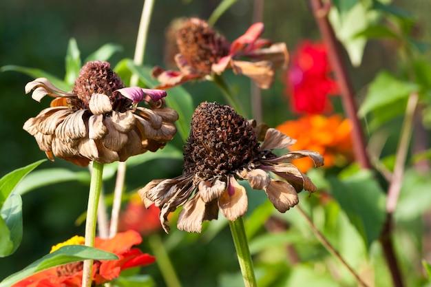 Fleurs sèches en fleurs et lentes au début de l'automne, apporte une humeur triste