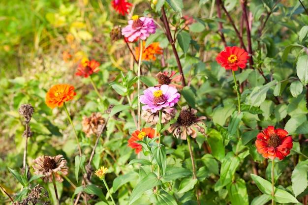 Fleurs sèches en fleurs et lentes au début de l'automne