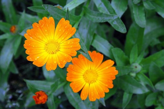 Fleurs de souci, calendula officinalis en gouttes d'eau