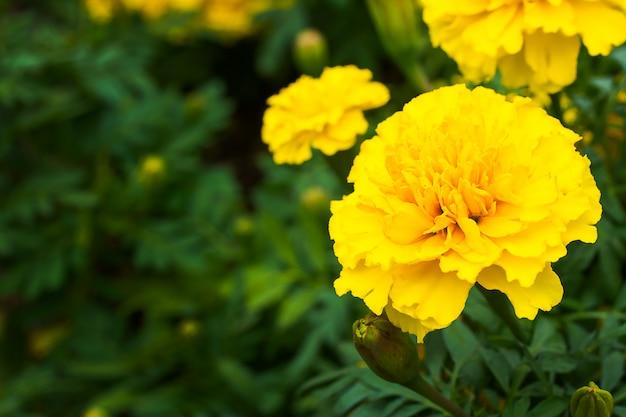 Fleurs de souci dans le pré