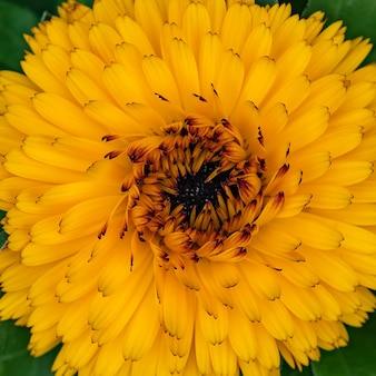 Fleurs de soucis anglais dans le jardin