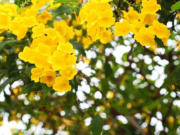 Fleurs de sureau jaune ou trumpetbush