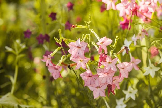 Fleurs de tabac décoratives sur le gros plan du parterre de fleurs