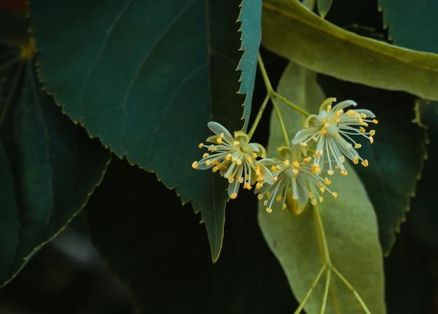Fleurs de tilleul blanc sur fond de feuilles vertes. fleurs en bois de tilleul d'arbre en fleurs, utilisées pour la préparation de thé de guérison, fond naturel