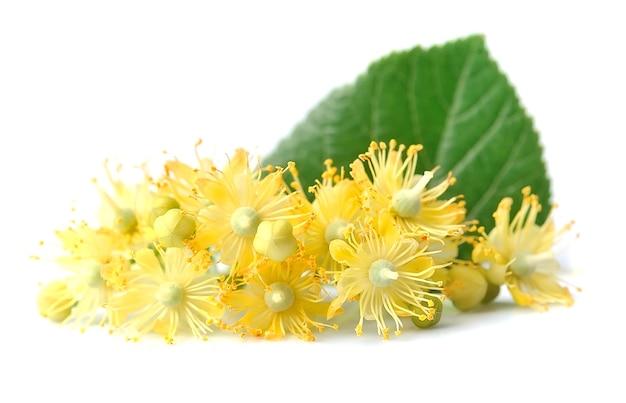 Fleurs de tilleul sur blanc