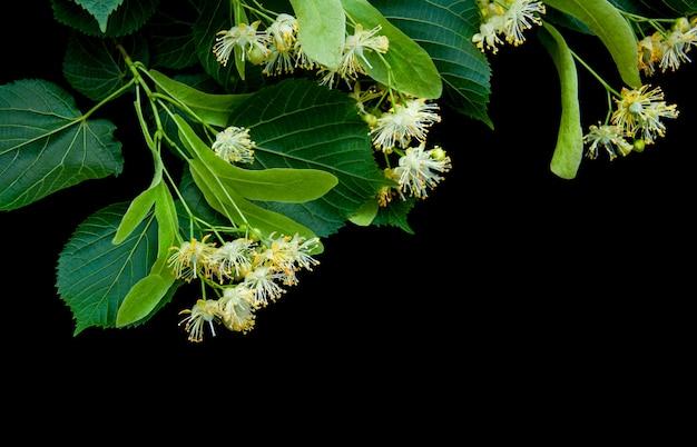 Fleurs de tilleul isolées sur fond noir