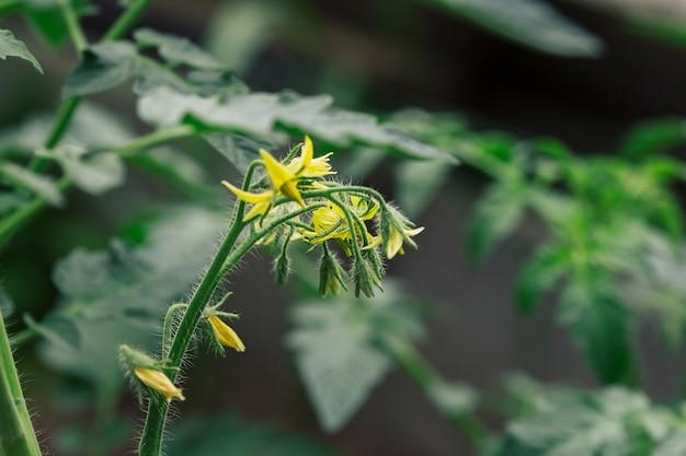 Fleurs de tomate jaune parmi le feuillage dans le jardin.