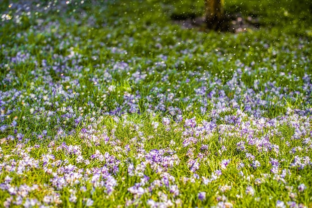 Fleurs tombées de glycine et gouttes de pluie, eau sur la pelouse. arroser la pelouse. journée d'été ensoleillée. contexte.