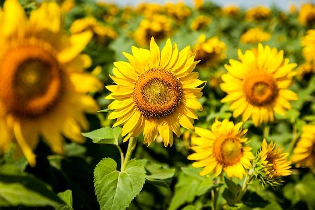 Fleurs de tournesol poussant sur le terrain. les agriculteurs cultivent des tournesols pour l'huile de cuisson