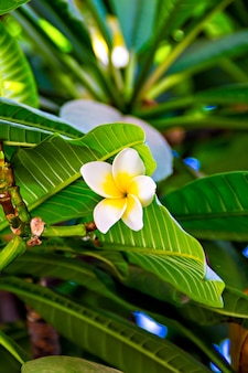 Fleurs tropicales blanches (plumeria, frangipanier)