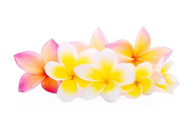 Fleurs tropicales frangipanier (plumeria) sur fond blanc