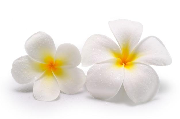 Fleurs tropicales de frangipanier (plumeria) isolé isolé
