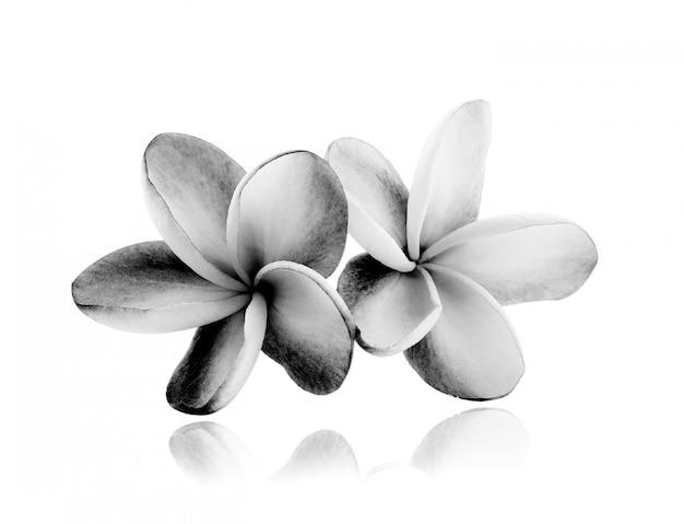 Fleurs tropicales de frangipanier (plumeria) noir et blanc isolé sur blanc