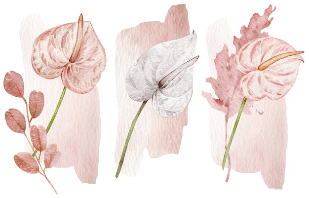 Fleurs tropicales roses et blanches blush - anthuriums. illustration dessinée à la main, isolée sur un mur blanc.