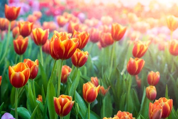 Fleurs de tulipes avec champ de tulipes
