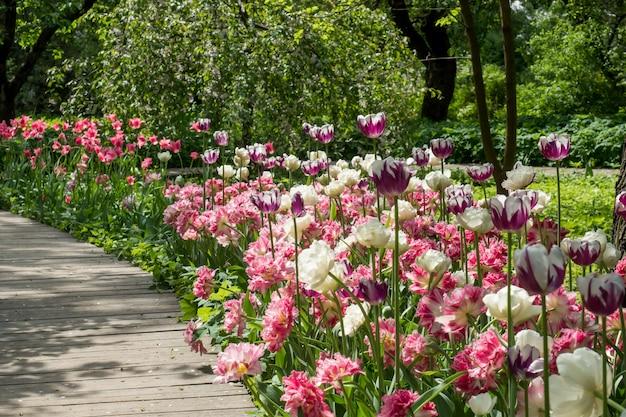 Fleurs de tulipes colorées qui fleurissent dans le jardin le long du plancher en bois
