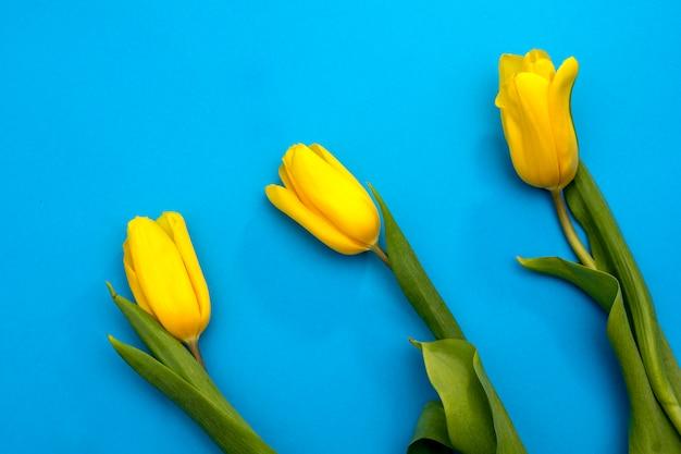 Fleurs de tulipes jaunes sur fond bleu. en attendant le printemps. carte de joyeuses pâques. mise à plat, vue de dessus. copiez l'espace pour le texte