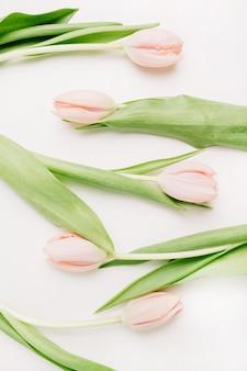 Fleurs de tulipes roses sur fond blanc. mise à plat, vue de dessus