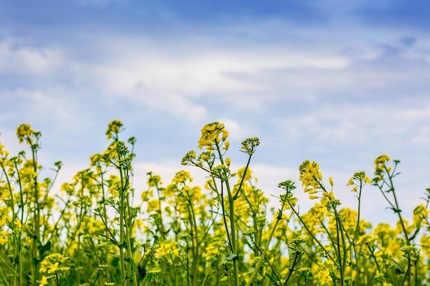 Fleurs violées sur un ciel bleu avec des nuages. culture du canola