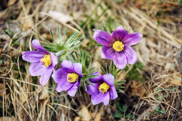 Fleurs violettes à coeur jaune. floraison printanière. floral abstrait.