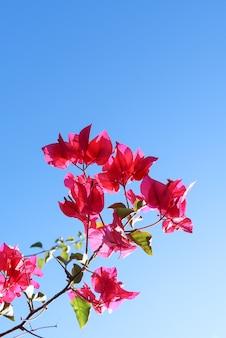Fleurs violettes colorées de begonville contre un ciel bleu