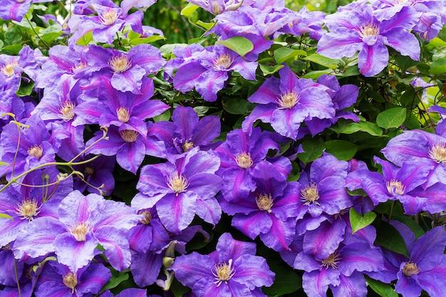 Des fleurs violettes faites maison fleurissent fin mai